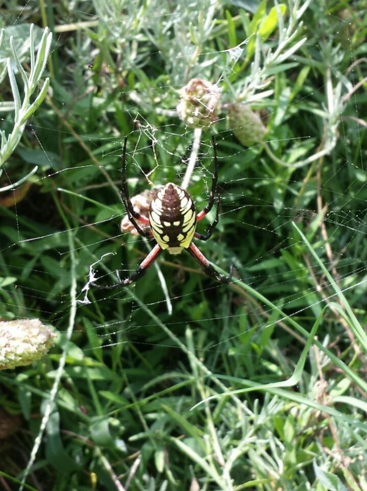The Dawson Spider